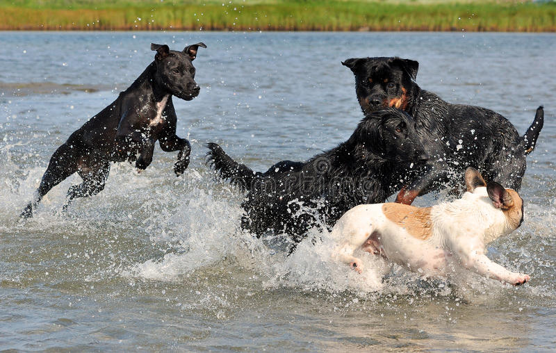 Four dogs play happy in the water stock photos