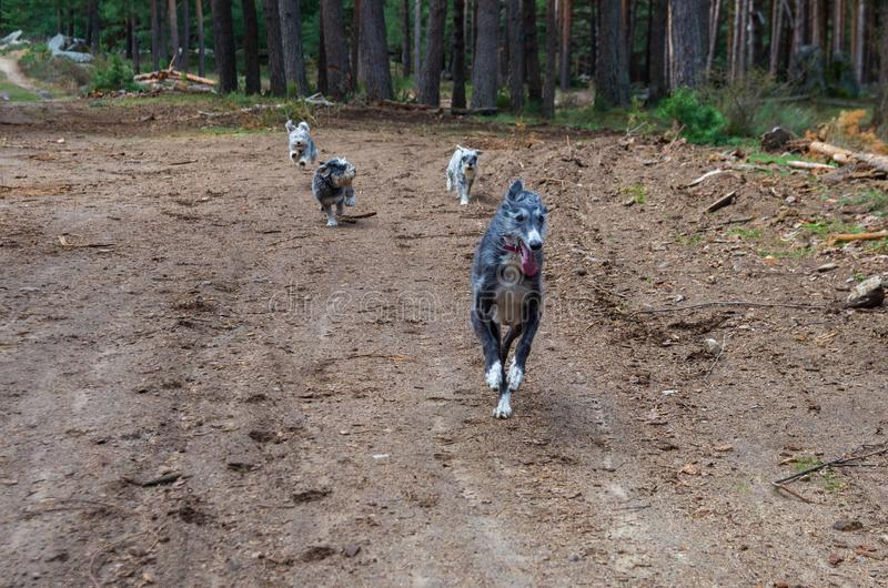 Four dogs running down a path stock photos