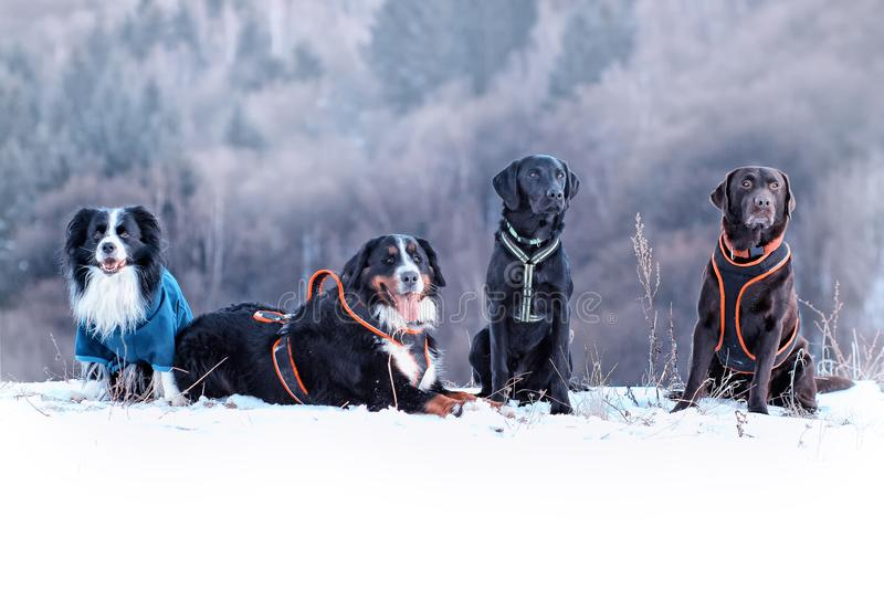 Four dogs are sitting in snow. There are border collie, bernese mountain dog and black and brown labrador retriever. It is winter time and snow is everywhere stock photography
