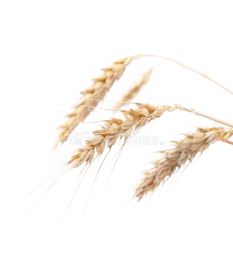 Four ears of wheat on a white background stock photography