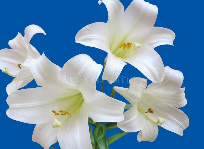 Four Easter Lilies, Lilium Longiflorum, White Trumpet Lily, Isolated on a Blue Background. This in an image of four white Easter Lilies against a blue background stock photos