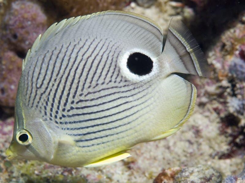 Four Eye Butterflyfish. Chaetodon ocellatus stock photos