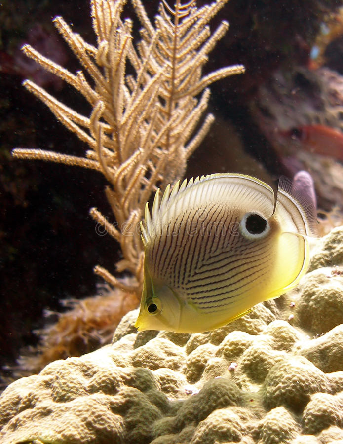 Download Four-Eyed Butterfly fish stock photo. Image of colours - 16193774