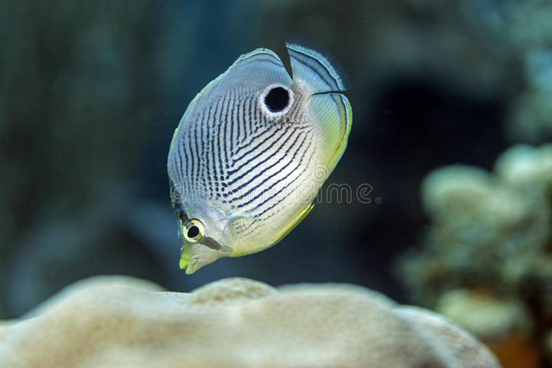 Four-eyed Butterflyfish,Chaetodon capistratus. The Four-eyed Butterflyfish,Chaetodon capistratus, is a butterflyfish,family Chaetodontidae stock photos