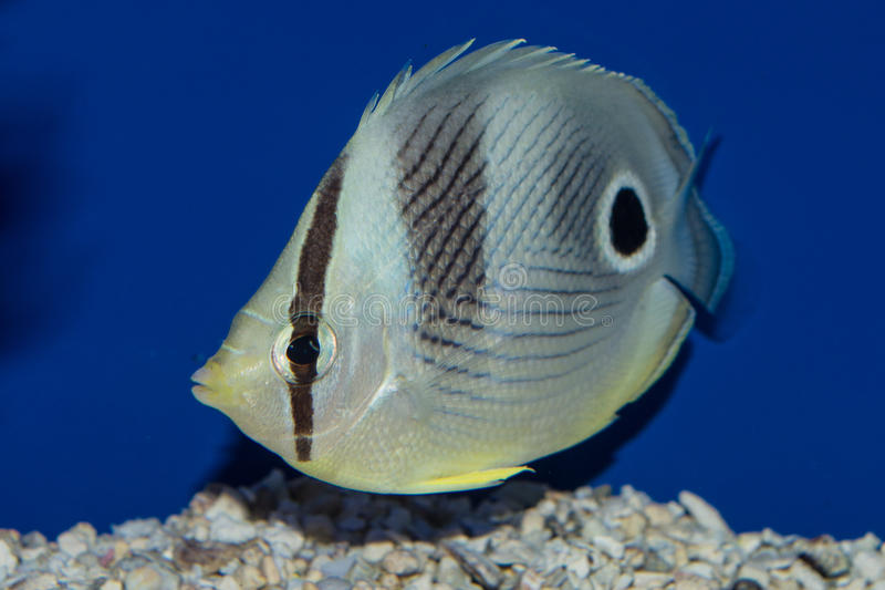 Four Eyed Butterflyfish. The Four-Eyed, or Foureye Butterflyfish, is a beautiful but delicate member of the Chaetodontidae family. Two namesake false eyespots on royalty free stock photography