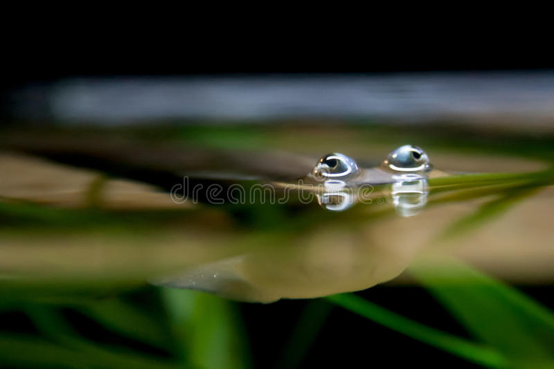 Four-Eyed Fish Eyes Peeking out from Water Surface. The four-eyed fish is a unique freshwater creature that can see above and below the water because of the way royalty free stock photography