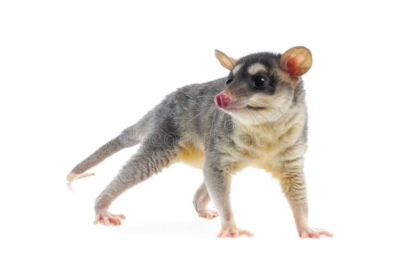 Four-eyed Opossum - Metachirus Nudicaudatus. Young Four-eyed Opossum on white background royalty free stock image