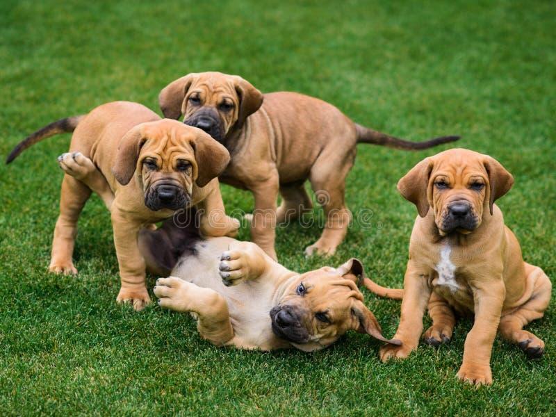 Four Fila Brasileiro Brazilian Mastiff puppies having fun. Four Fila Brasileiro Brazilian Mastiff puppies playing on the grass royalty free stock photos