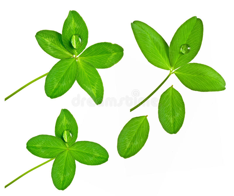 Four And Five Leaf Clover With Drop Stock Photo