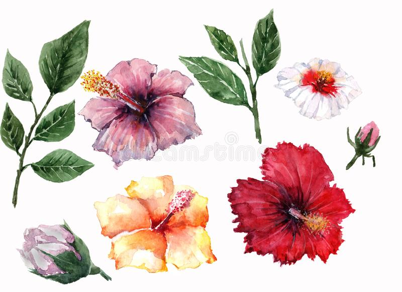 Four flowers of hibiscus are red, white, purple and orange, two green twigs with leaves and two unopened buds on a white vector illustration
