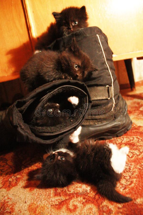 Four fluffy kittens. Are exploring the world. At the moment, their imagination attracted boots royalty free stock images
