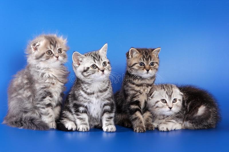 Four fluffy kittens skottish fold. On blue background royalty free stock images