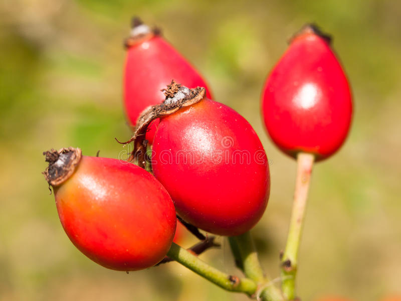 Four fresh red ripe rose hips wild on branch rosa canina royalty free stock photo