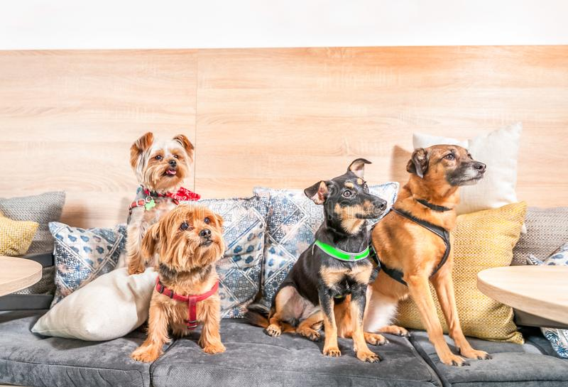Four funny cute dogs ex abandoned homeless adopted by good people and having fun on the pillows in the pet shop enjoying new life. Selective focus stock photo
