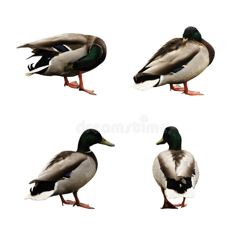 Four funny ducks. On the white background royalty free stock photography