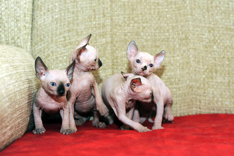 Four funny hairless sphynx on a red sofa royalty free stock photography