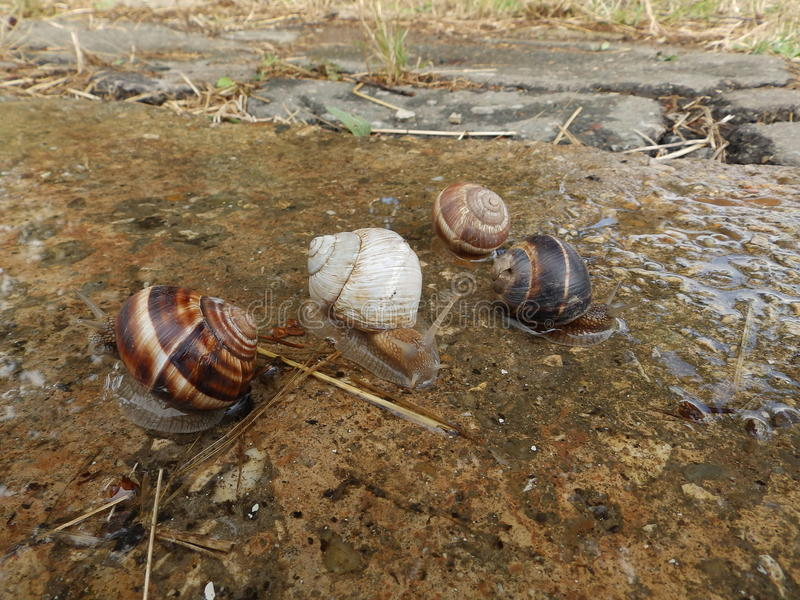 Four garden snails. And one is albino stock photos
