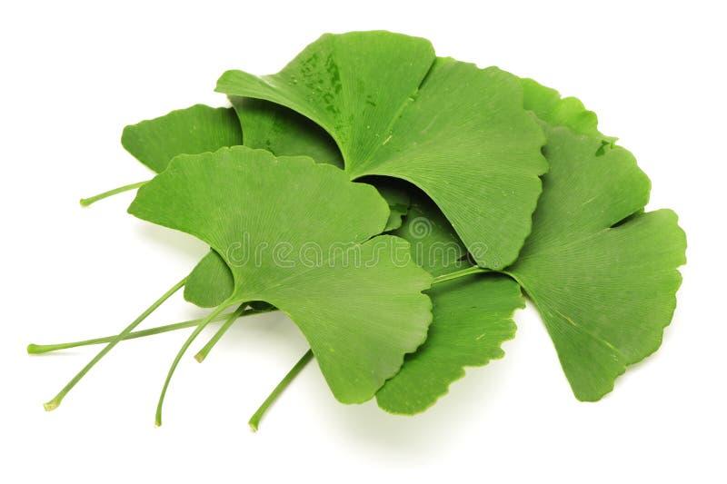 Ginkgo biloba. Four ginkgo biloba leaves on white background royalty free stock photo