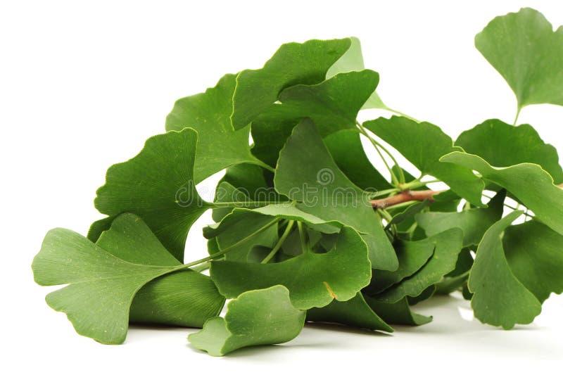 Ginkgo biloba. Four ginkgo biloba leaves on white background stock image