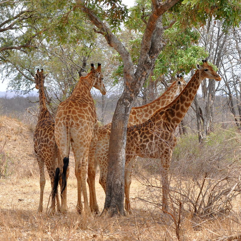 Download Four Giraffes Resting Under Tree,Kruger NP Stock Photo - Image: 12246898