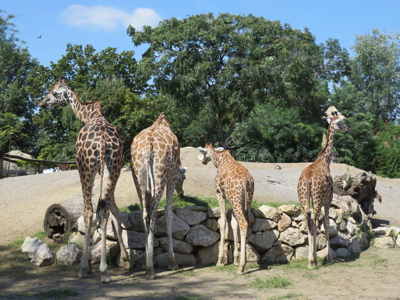 Download Four Giraffes In The Zoo Of Budapest Stock Photo - Image: 83711614