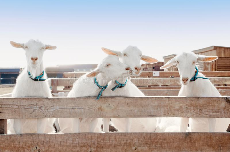 Four goats in the paddock stock image