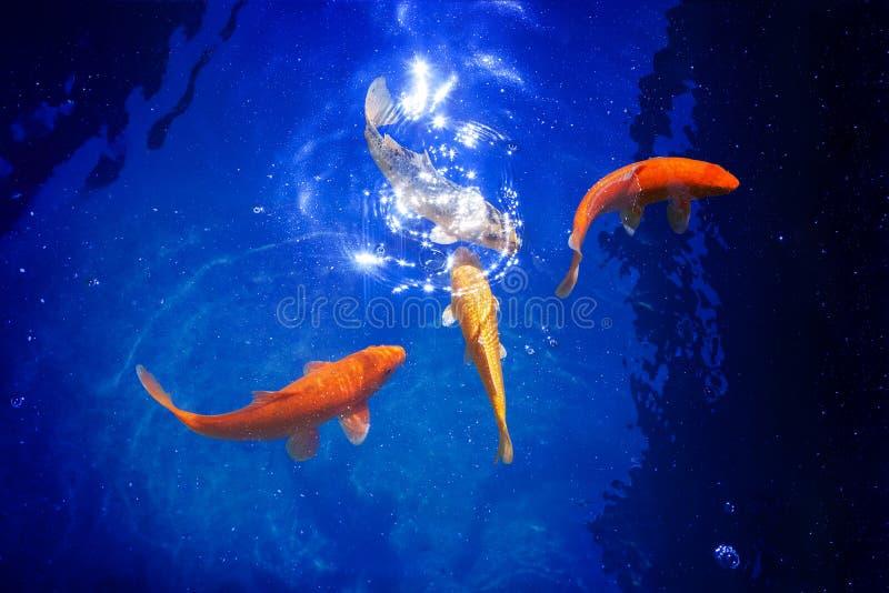 Four golden koi carp fishes closeup, dark blue sea background, yellow goldfish swims in pond, mystery night moonlight glow. Magic shiny stars, sky galaxy art royalty free stock photo