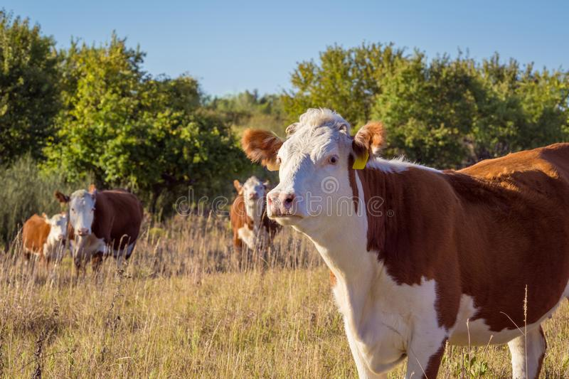 Hereford Cows. Four Hereford cows in a Kansas pasture stock photos