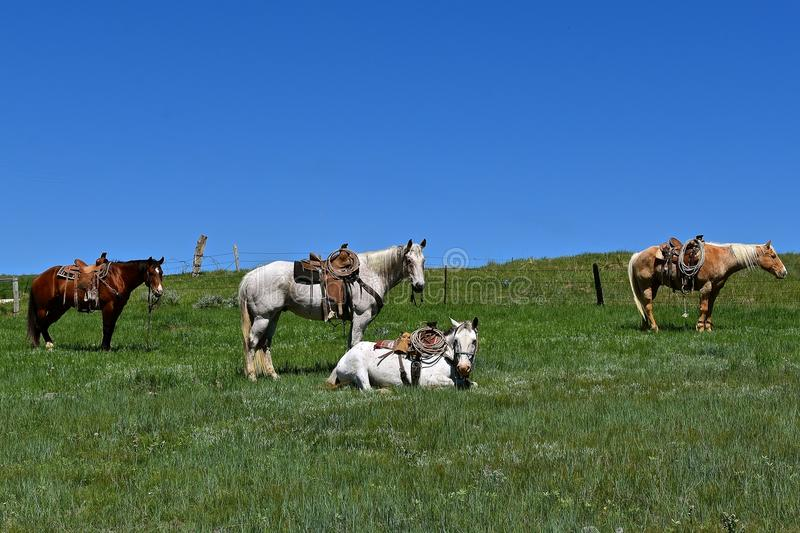 Four hobbled horse in a roundup and branding. Four hobbled and saddled horses during a roundup and branding with one horse laying down stock image