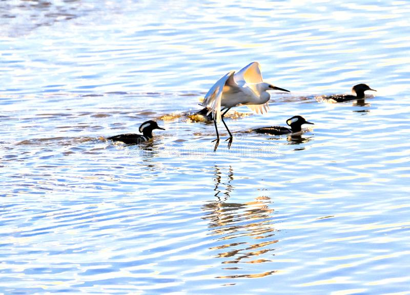 Four Hooded Mergansers cross the marsh river with two an egret in tow stock images