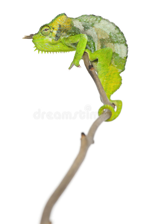 Four-horned Chameleon, Chamaeleo quadricornis. Perched on branch in front of white background royalty free stock image
