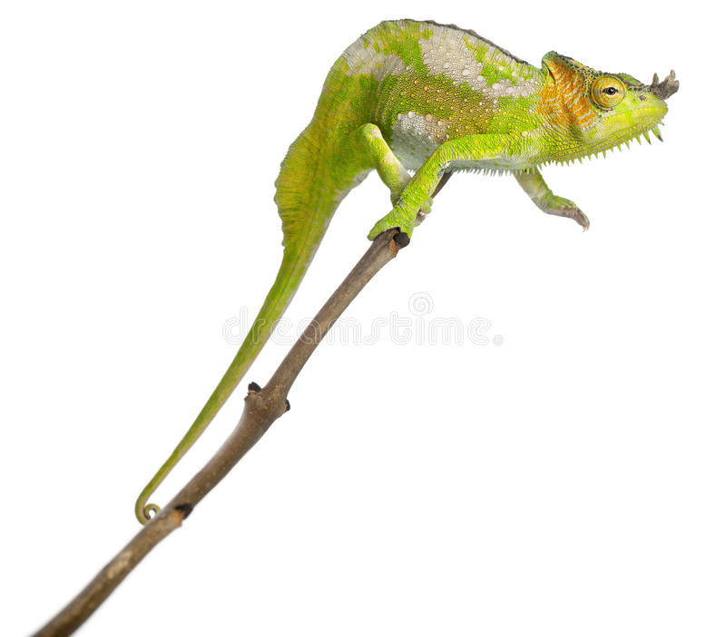 Four-horned Chameleon, Chamaeleo quadricornis. Perched on branch in front of white background stock photo