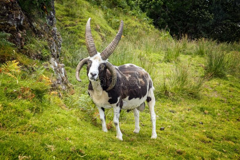 Four horns goat royalty free stock images