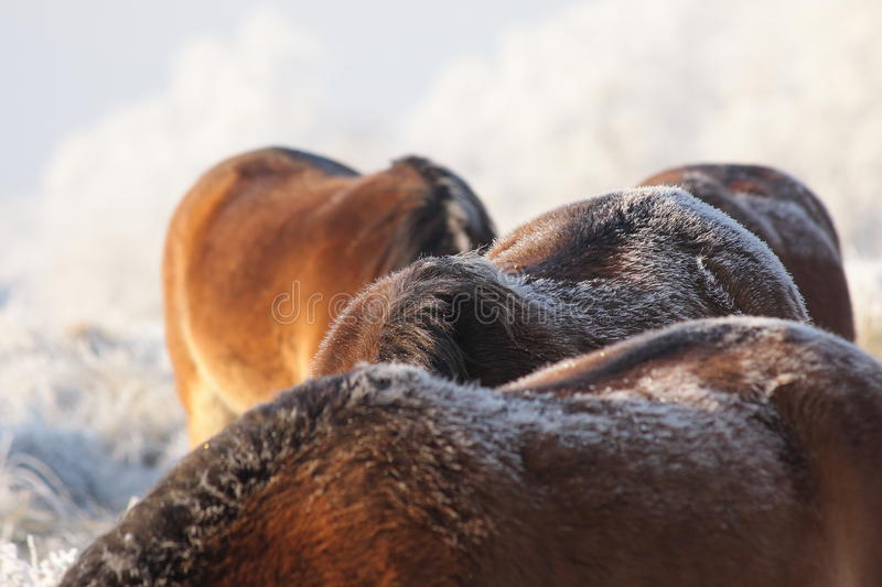 Four horses royalty free stock photography