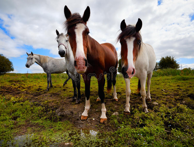 Four Horses Royalty Free Stock Photo