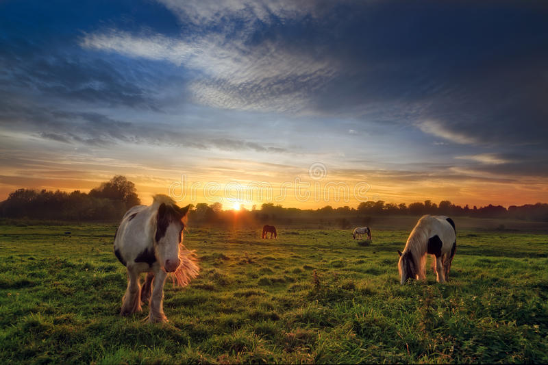 Four Horses in Field at Sunset. Four semi feral horses (cobs) on a plush green field as the sun is disappearing behind the treeline and dramatic clouds gather stock images