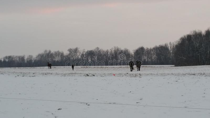 Four horses on a snowy day. Four horses off in the distance looking for some pasture on a snowy day in Ontario stock photos