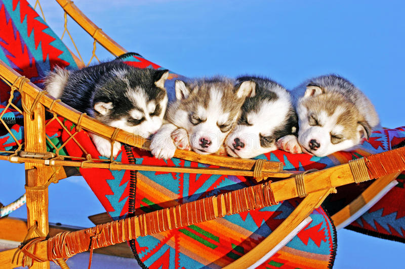 Four Husky puppies stock photography