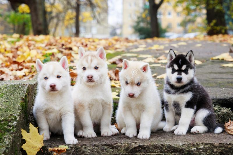 Four husky puppies on staircase royalty free stock photo