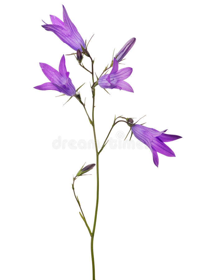 Four isolated on white bloom Spreading bellflower stock photos