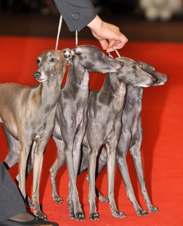 Four Italian Greyhound dogs stock photography