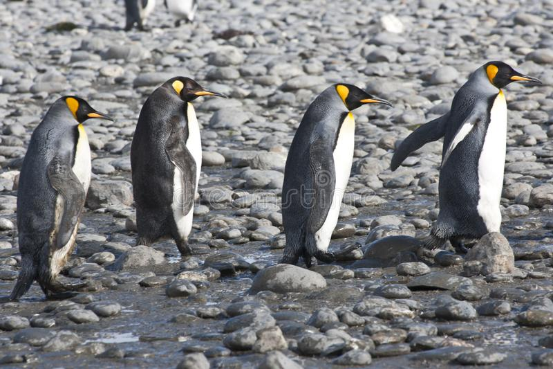 King penguins, four penguins walking in sunshine, Antarctica royalty free stock images