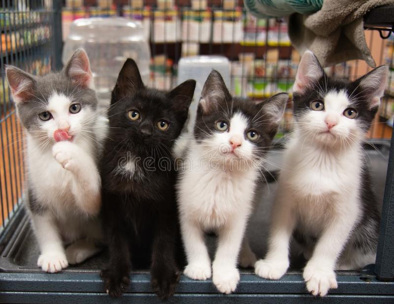 Four Kittens in Cage Pet Store Cat Black White Grey Sitting Cute Portrait Kitten Cats Pet Pets. Funny royalty free stock photography