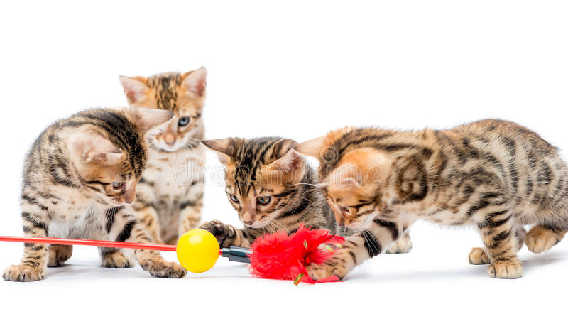 Four kittens playing with the bait royalty free stock photography