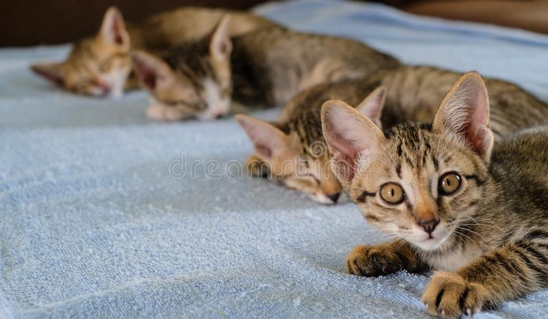 Four kittens sleep on blue towel with text space, One of kitten is looking stock image
