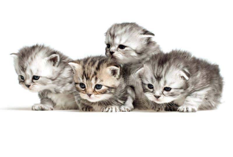 Four kittens on white stock images