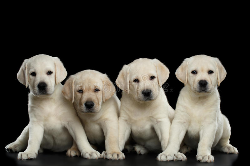 Four Labrador puppy isolated on Black background stock photography