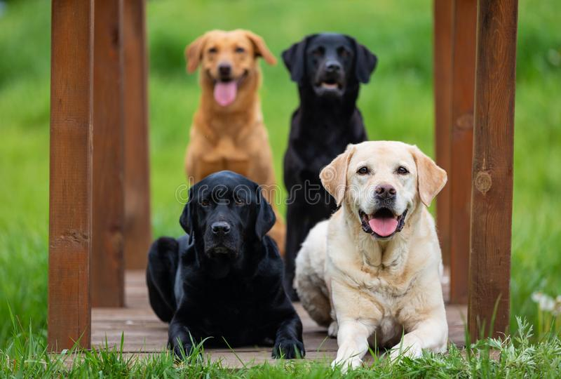 Four Labrador Retriever dogs. In different colors stock photo