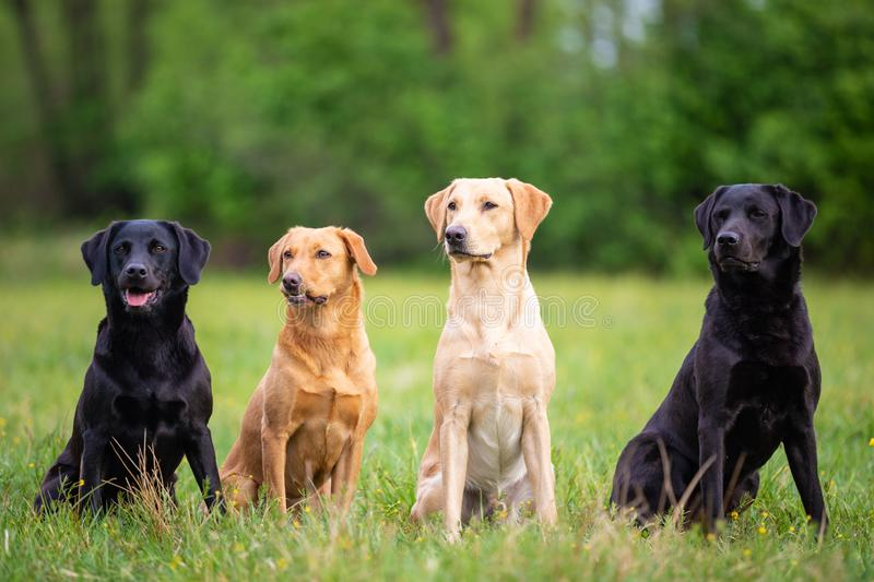 Four Labrador Retriever dogs. In different colors royalty free stock images