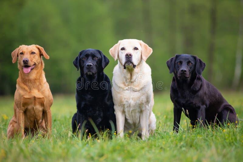 Four Labrador Retriever dogs. On a meadow royalty free stock photo